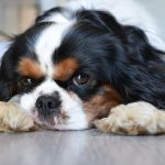 Test collier chien king charles