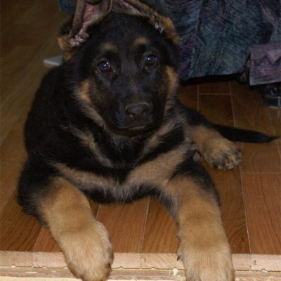 guide dachat laisse chien berger allemand