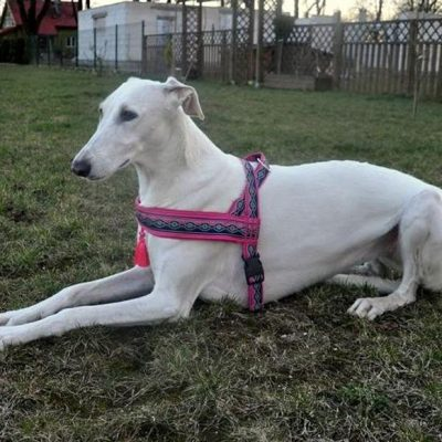 guide dachat harnais chien whippet