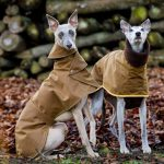Test collier chien whippet