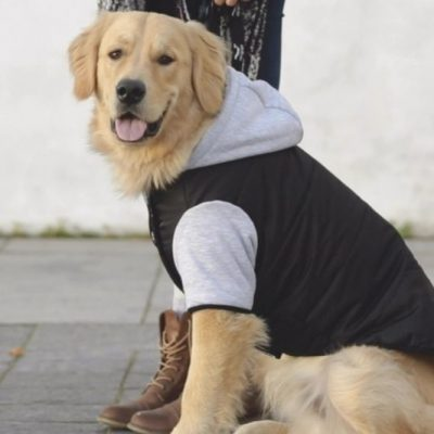 test manteau chien golden retriever